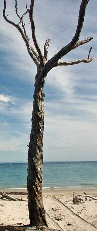 moreton bay tree